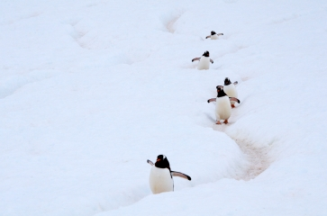 Gentoo Penguins (Pygoscelis papua) in apenguin highway in Antarctica. The traffic and the human-like behaviour in these highways is really amusing.